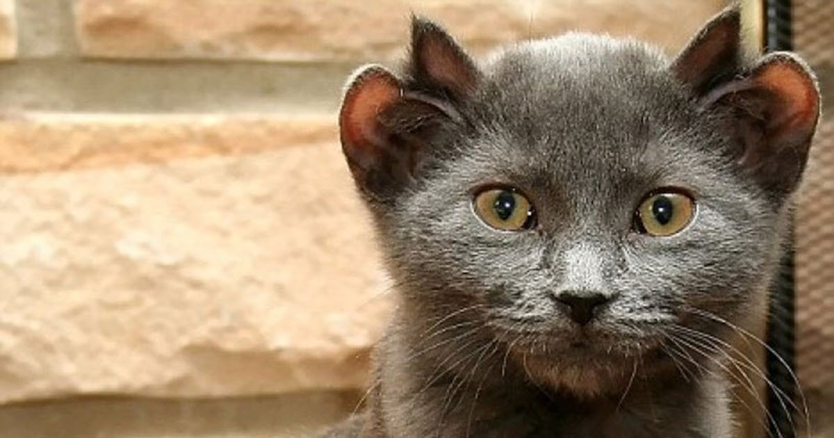 Rare Cat Is Born With 4 Ears – Yoda They Named Him